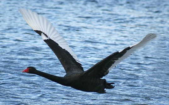Black Swan in Flight